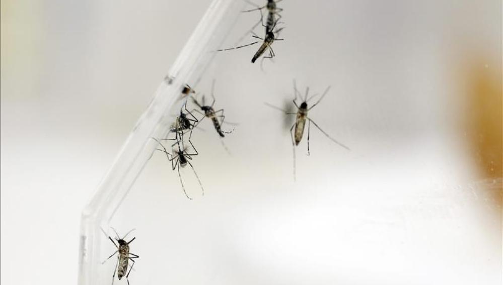 El mosquito Aedes Aegypti transmite el virus del Zika