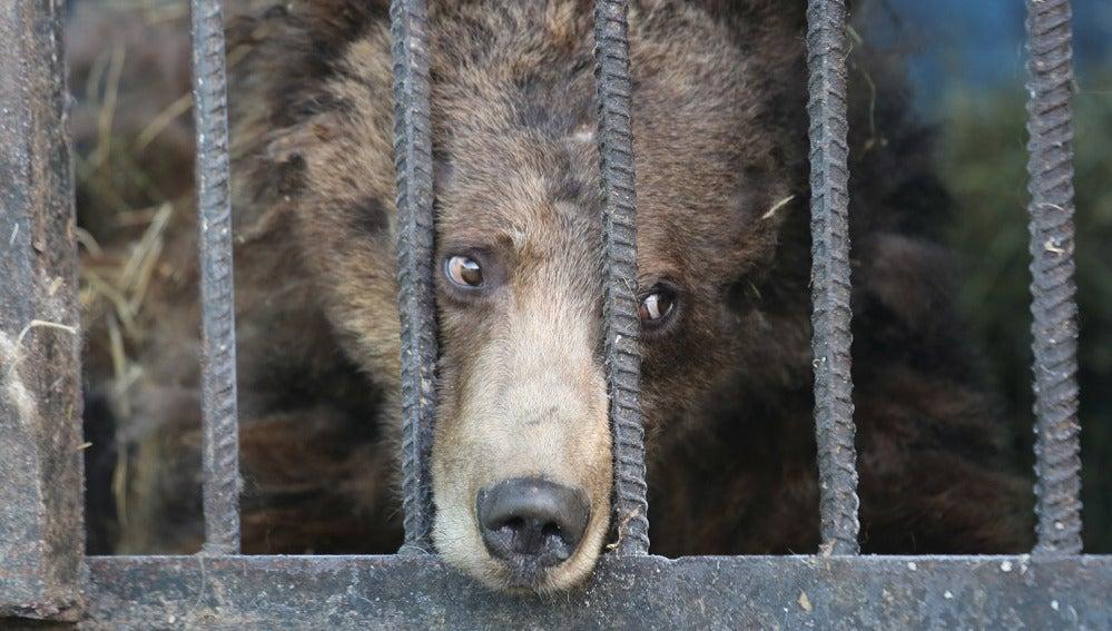 La mirada triste de un oso hambriento