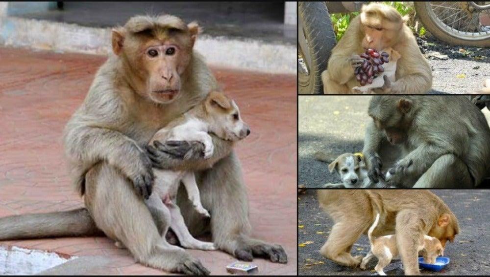 Un mono 'adopta' a un perro callejero