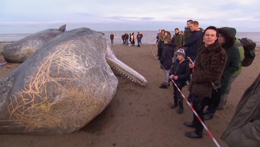 Un cachalote muerto en las playas de Inglaterra