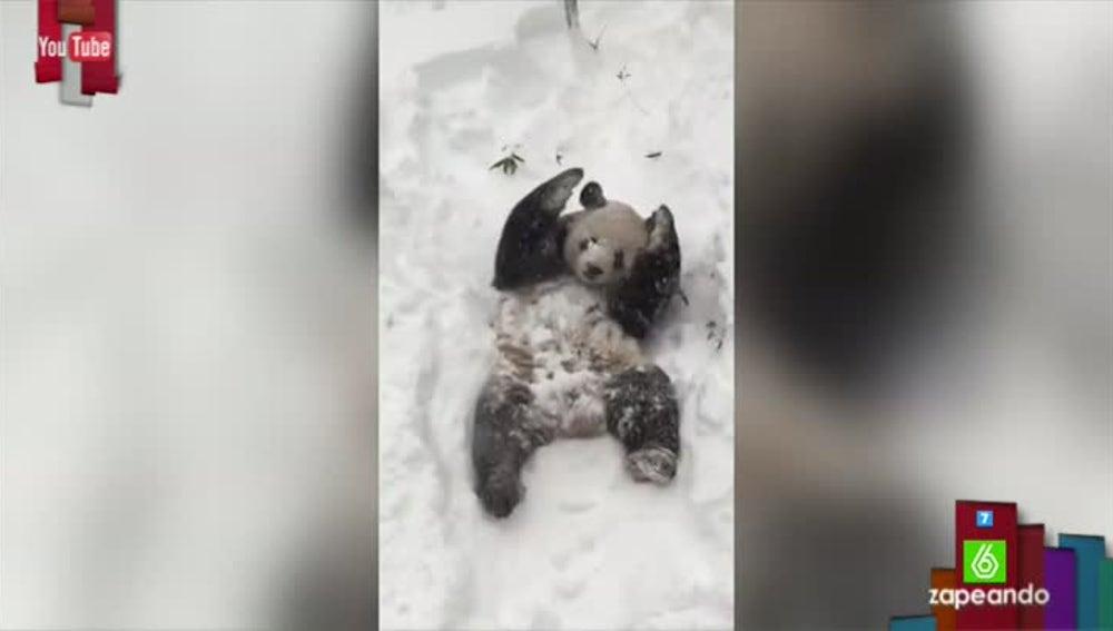 Tian Tian, el oso panda que se cree oso polar revolcándose en la nieve