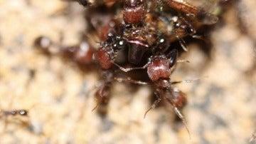 La hormiga que no envejece