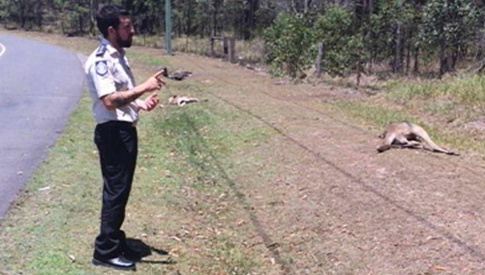 Imagen de canguros atropellados en Australia