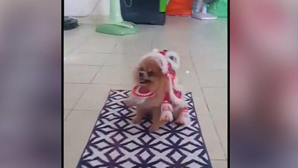 Un perro celebra el año nuevo chino