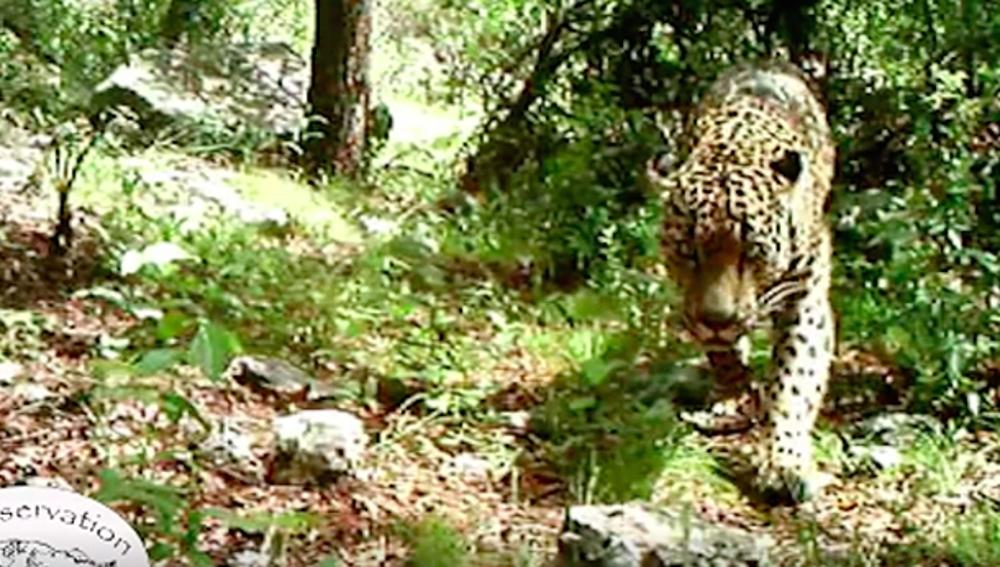 Único jaguar en libertad que vive en EEUU
