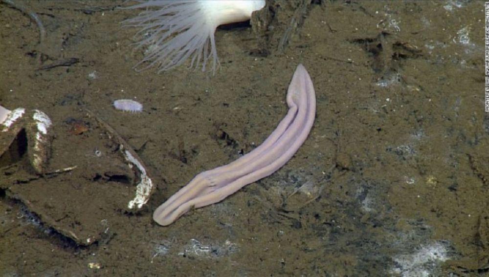Xenortubella encontrada en el Pacífico