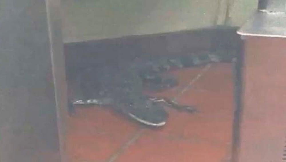 Imagen del caimán dentro de un restaurante de la cadena Wendy's en EEUU