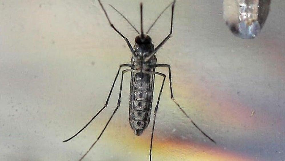 Imagen del mosquito Aedes Aegypti en un laboratorio