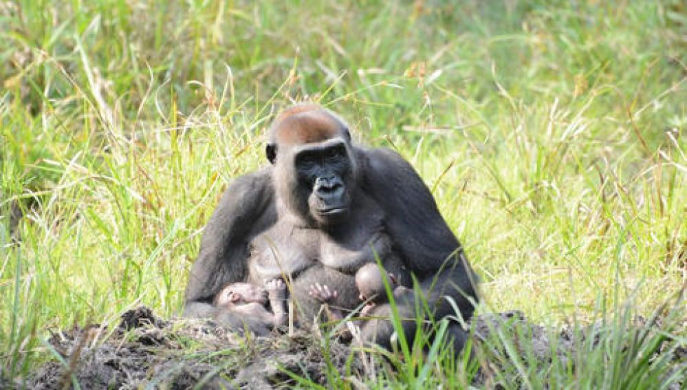 Imagen de los primero gemelos de gorilas occidentales en la República Centroafricana