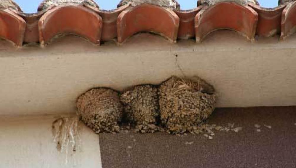 Varios nidos de golondrinas en la cornisa de un edificio