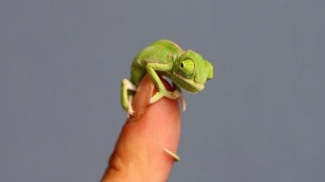 Camaleón pequeño
