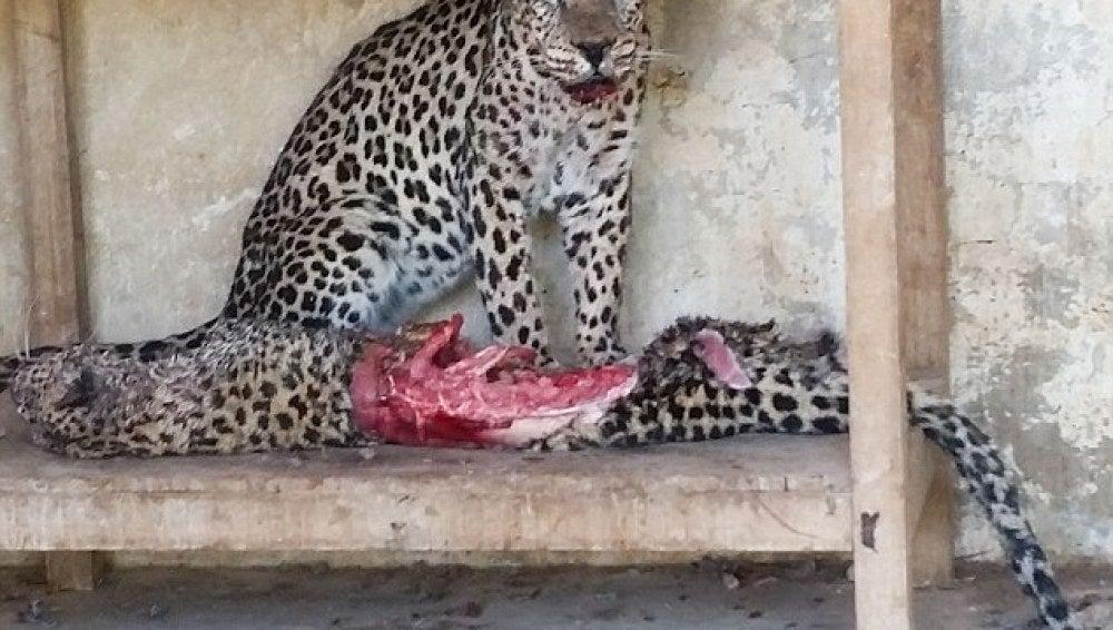 Un leopardo macho se come su compañera en un zoológico en Taiz
