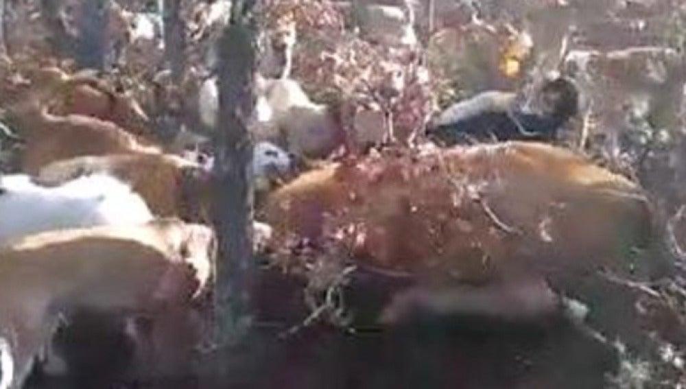 Imagen de la jauría de perros acosando a la vaca