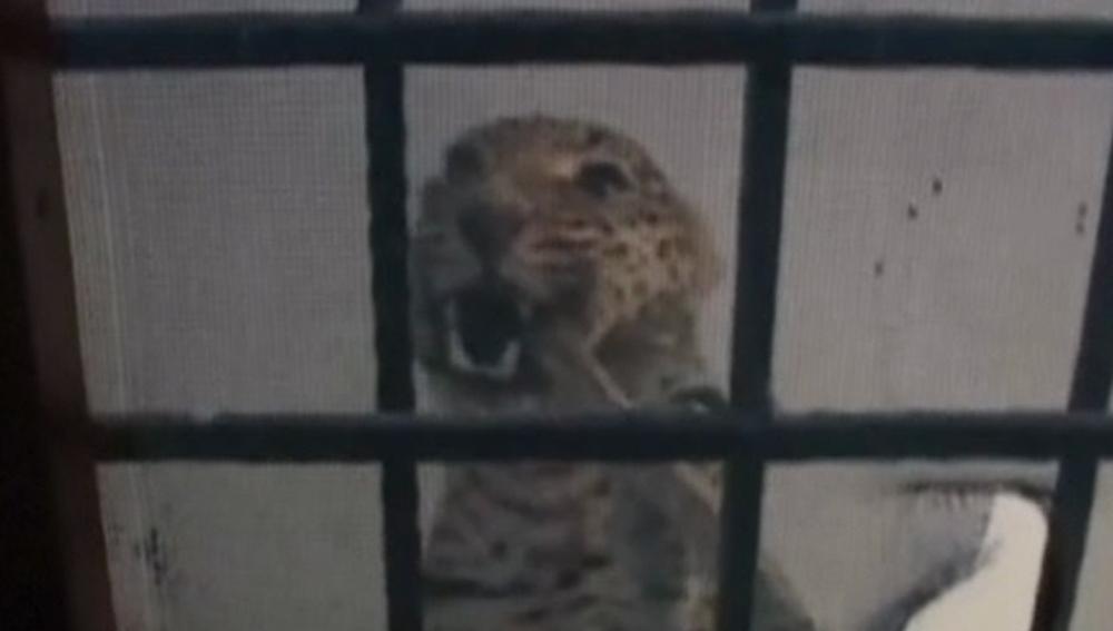 Imagen de la captura del leopardo