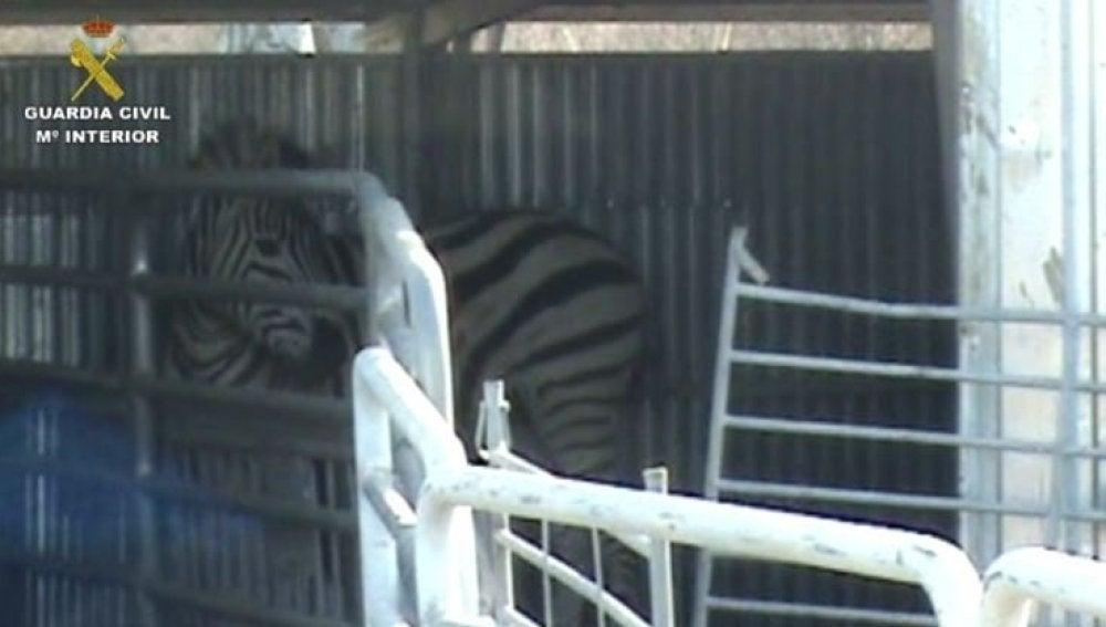 Imagen de una de las cebras enfermas