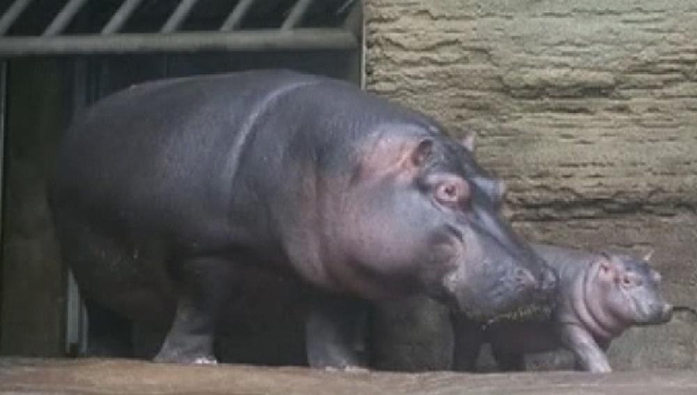 Imagen del bebé hipopótamo y su madre