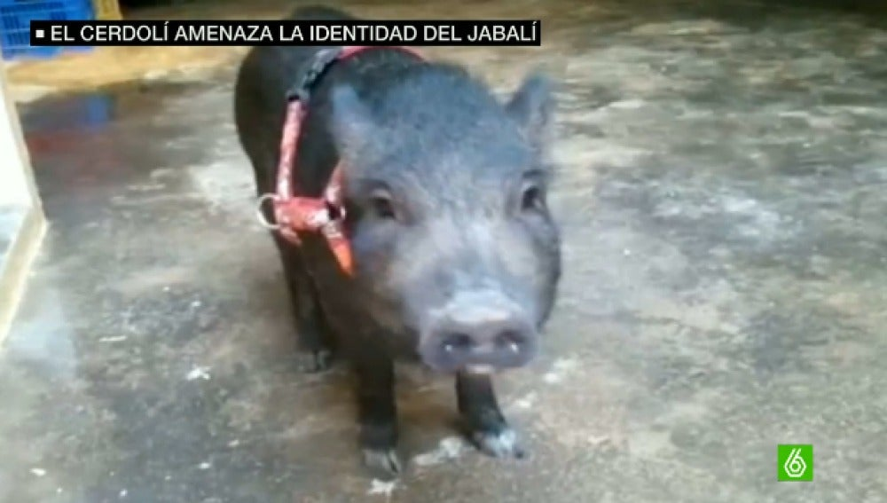 Cerdolí, mezcla de cerdo vietnamita y jabalí