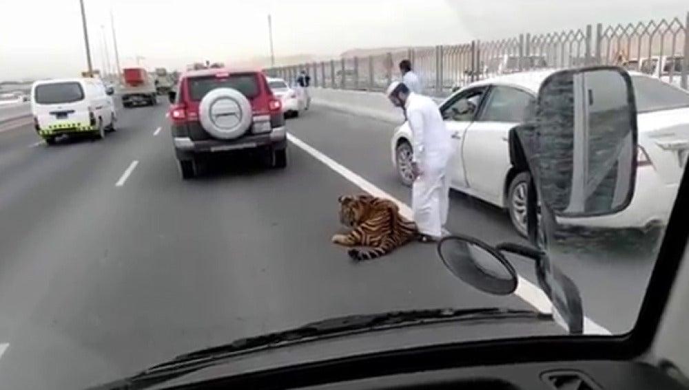 Imagen del tigre en la utopista de Doha