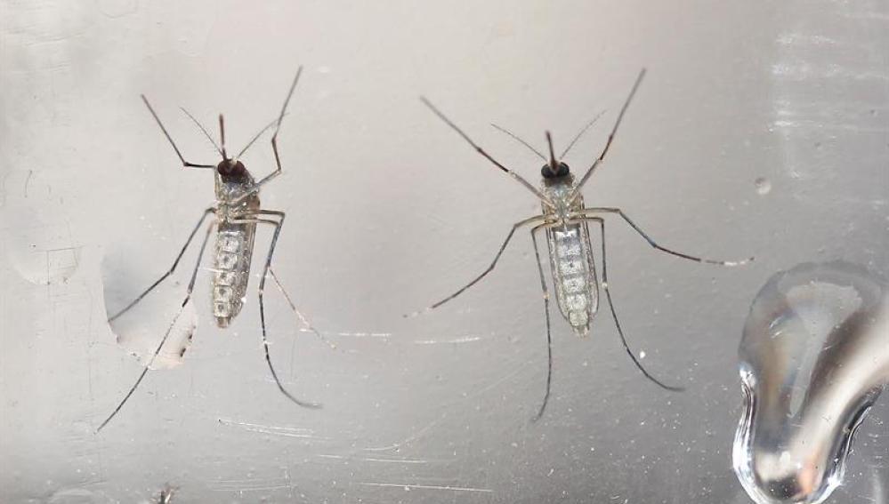 Mosquitos Aedes aegypti fotografiados en un laboratorio.