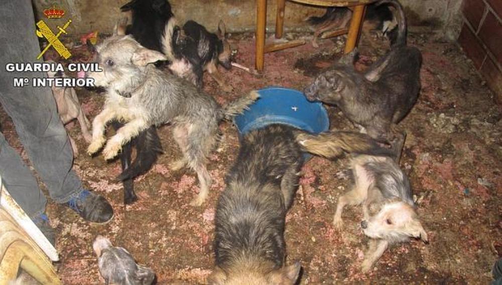 Estado de los perros encontrados por la Guardia Civil