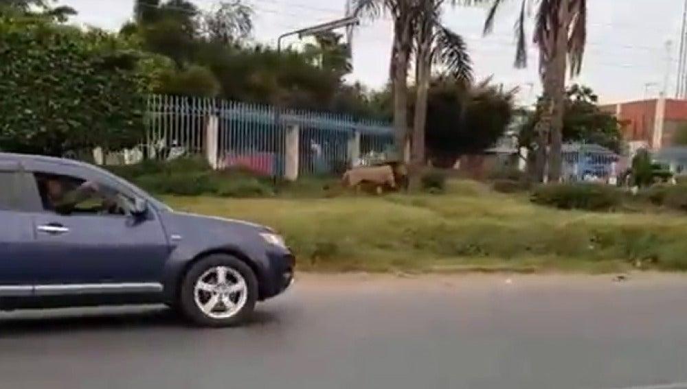 Imagen del león paseando por la carrtera
