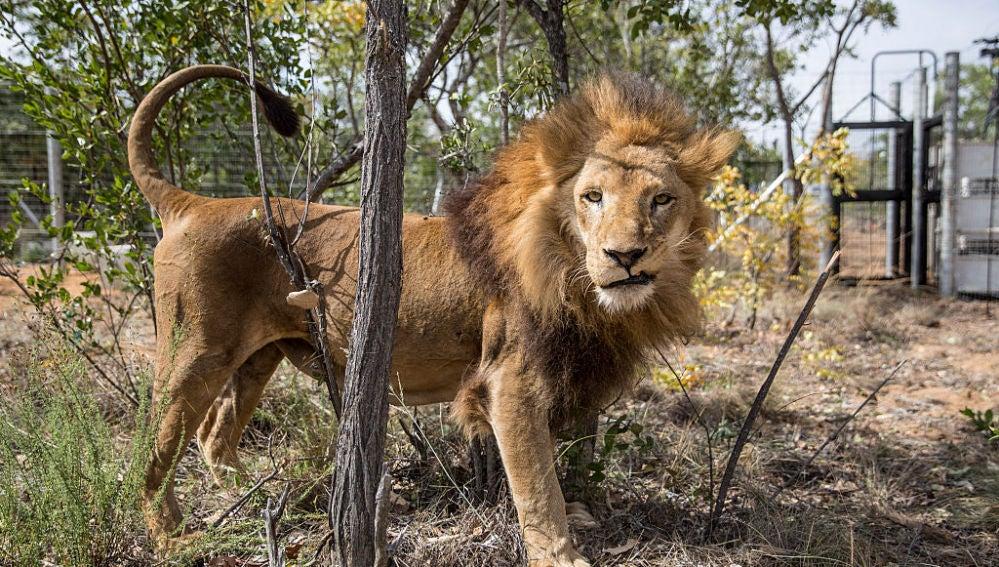 Los 33 leones rescatados de circos de Perú y Colombia ya viven libres en una reserva de Sudáfrica