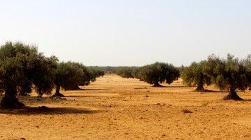 Imagen de un olivar