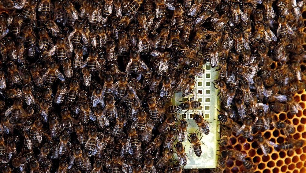 Enjambre en torno a la abeja reina en el interior