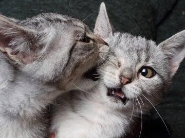 Gatos mordiéndose