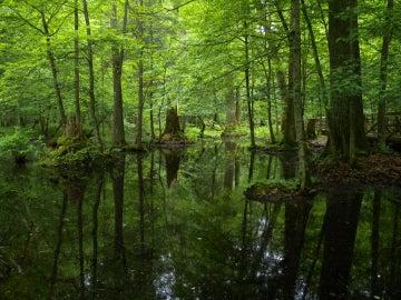 Bosque de Bialowieza, en Polonia
