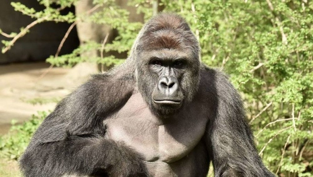 El gorila Harambe