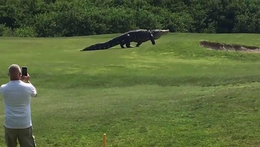 Imagen de un caimán en un campo de Golf en Florida