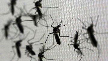 el mosquito 'Aedes aegypti', transmisor del virus del Zika