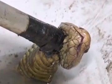 La cobra al momento de ser capturada