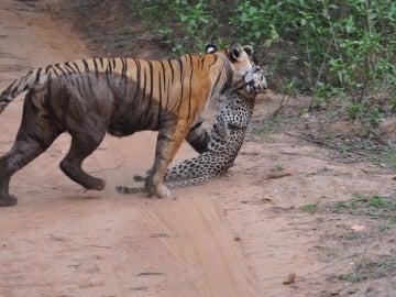 El resultado de una pelea entre una tigresa y un leopardo