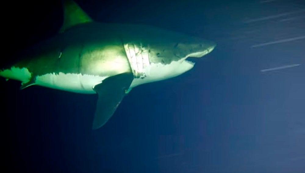 Los tiburones, cuando duermen, lo hacen con los ojos abiertos