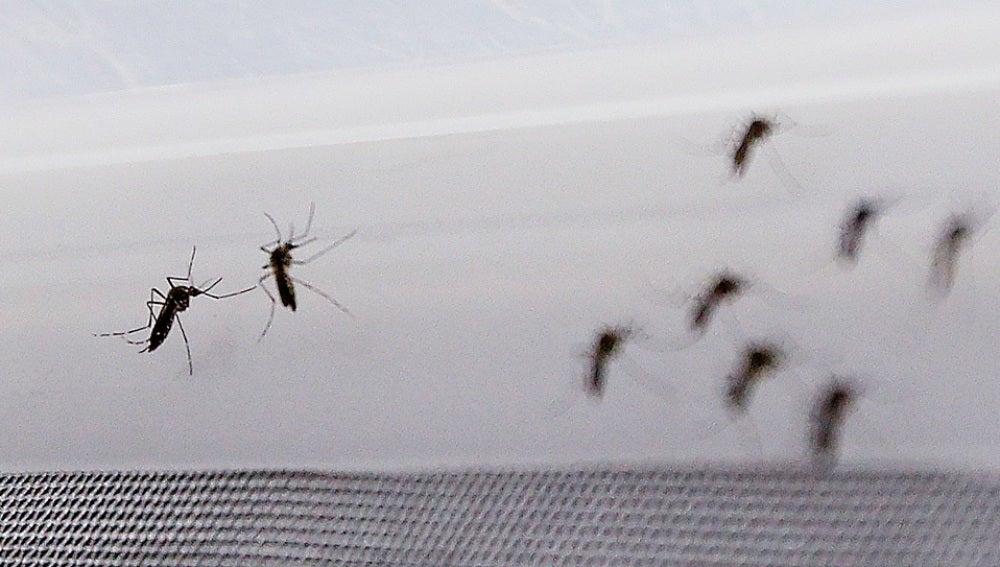 Fotografía de mosquito Aedes aegypti, transmisor del virus del Zika