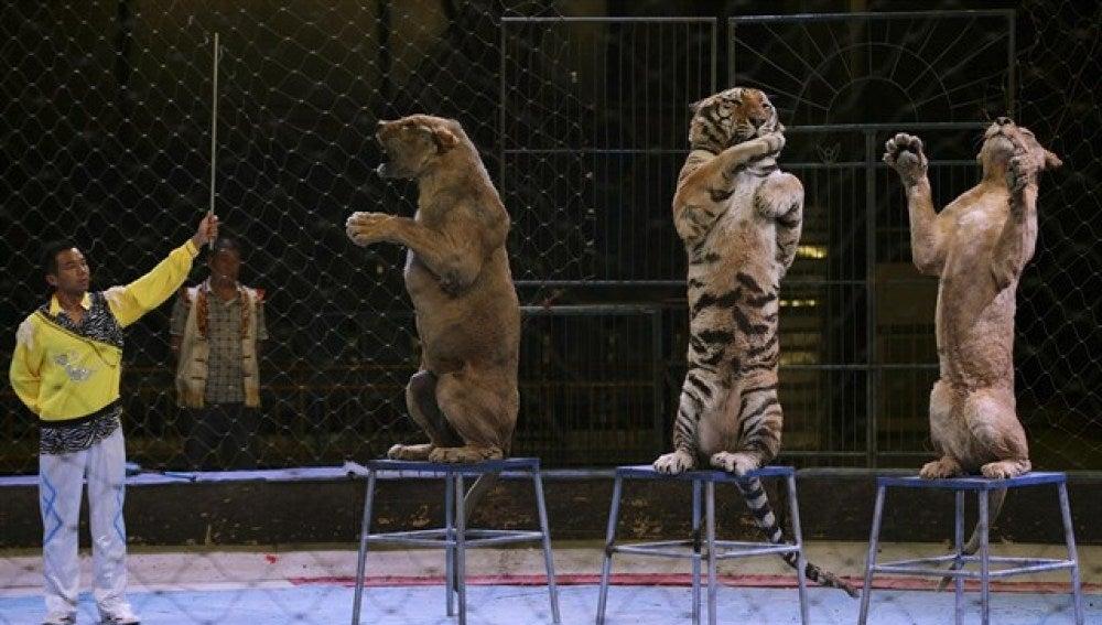 Un circo que utiliza tigres como parte del espectáculo