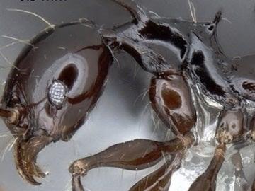 Una de las hormigas.