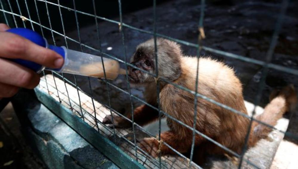 Un empleado da vitaminas con una jeringuilla a un mono capuchino