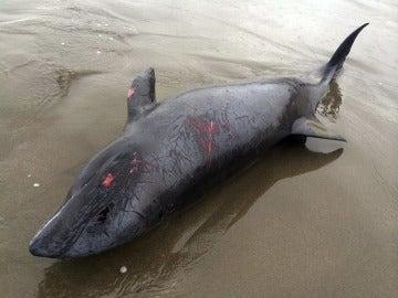 Delfín herido