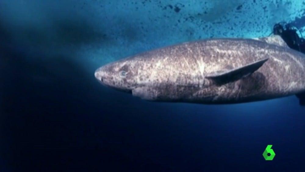 Científicos daneses descubren al vertebrado más longevo: un tiburón de 400 años