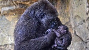Nalani, la gorila que ha dado a luz en el Bioparc de Valencia
