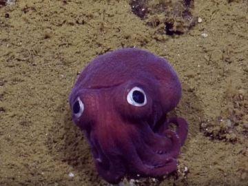 'Googly-eyed', grabado por E/V Nautilus