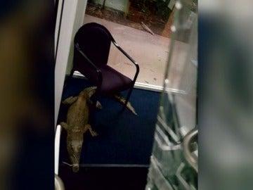 Frame 71.229357 de: Utilizan cocodrilos en Australia para romper los cristales y entrar a robar en un colegio