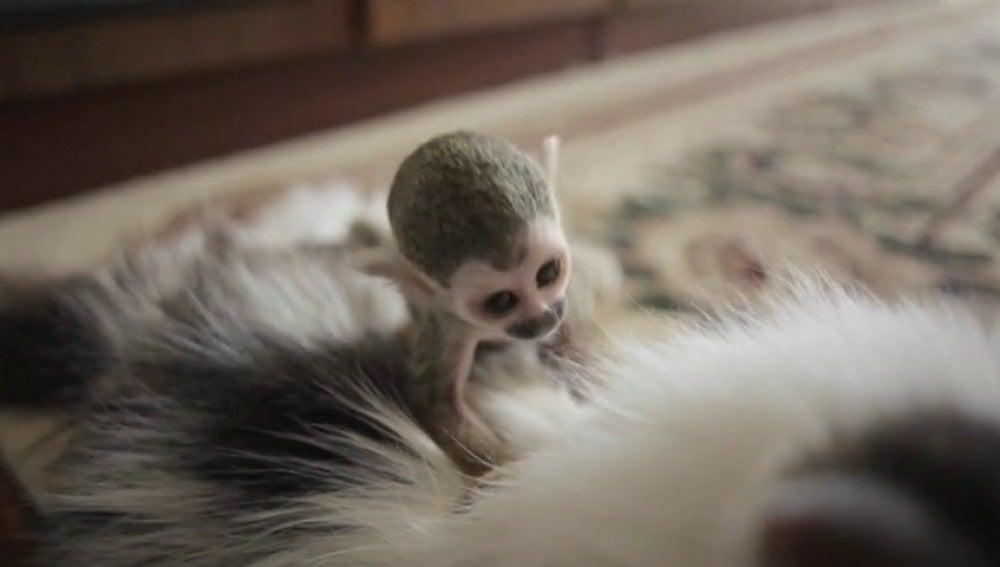 Frame 8.48989 de: Un gato de 16 años adopta a un bebé mono rechazado por su madre en un zoológico de Rusia