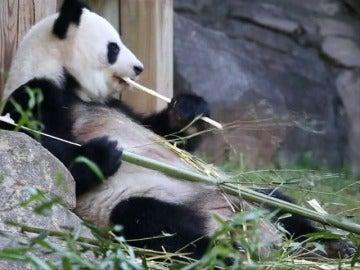 Frame 10.985696 de: La madre de los únicos gemelos panda del mundo, embarazada de nuevo