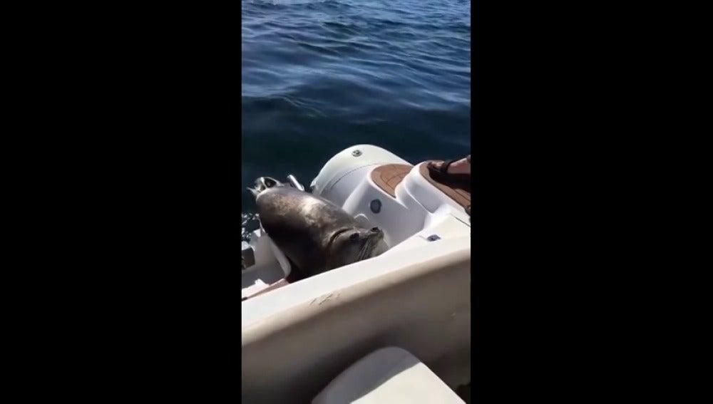 Frame 79.997249 de: Una foca se sube al barco de unos turistas en Canadá para evitar ser devorada por unas orcas