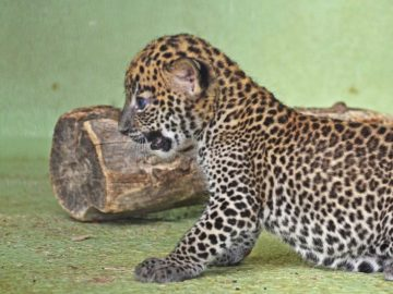 Imagen del cachorro de leopardo recién nacido en el Bioparc de Valencia
