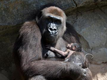 El primate más grande del mundo, el gorila oriental, cuya población ha sufrido un declive del 70 % en los últimos 20 años